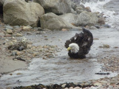 Bathing eagle!