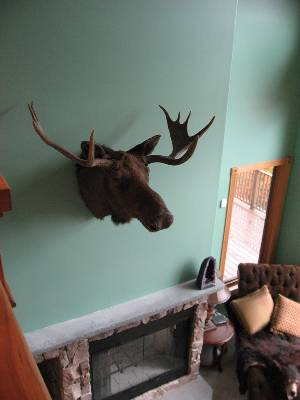 Real moose head